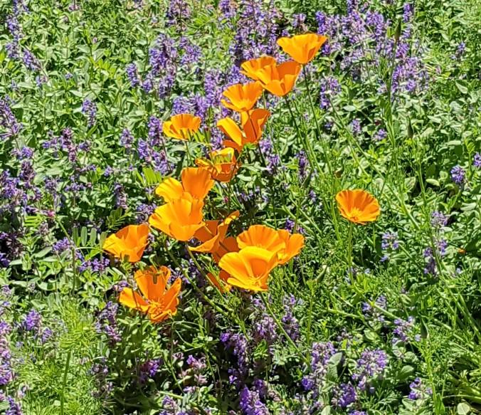 fleurs france aude.jpg