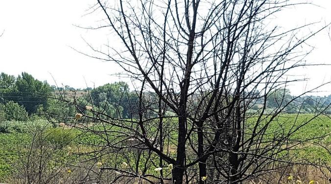 brandskadade träd frankrike
