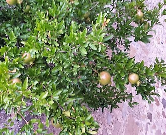 granatäpple frankrike hus