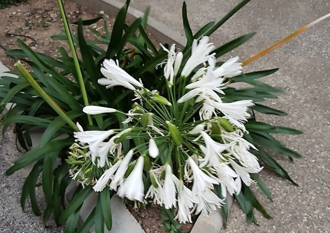 lilja vit frankrike