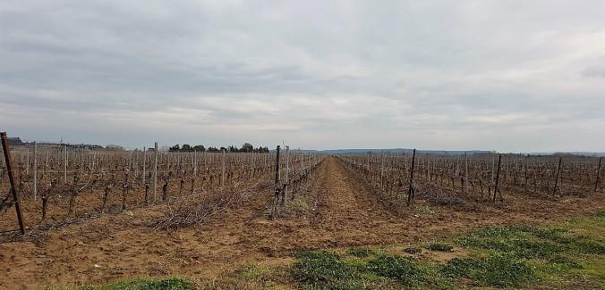 vigne aude hiver