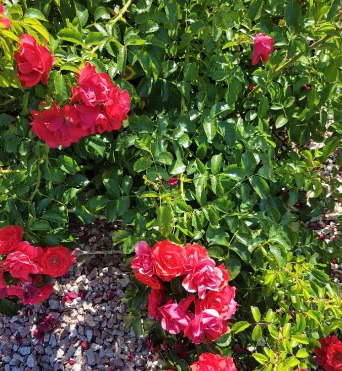 Blomstrande prakt aude