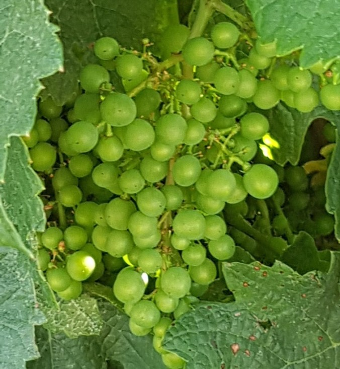grapes aude