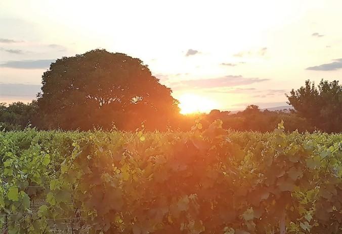 solnedgång vingård aude