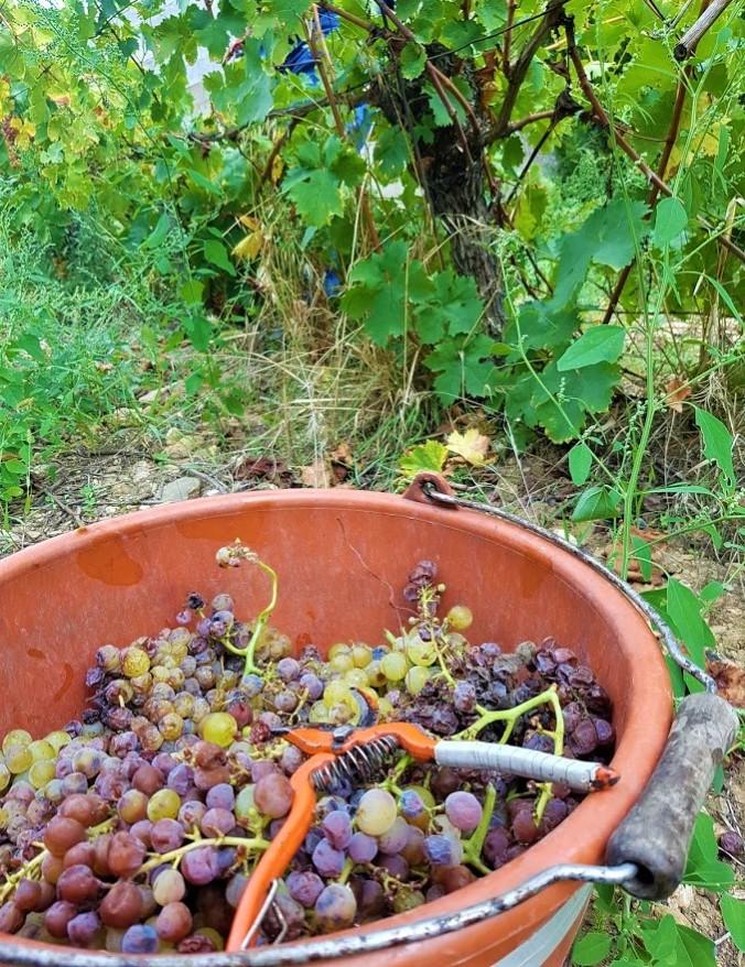 hink vindruvor