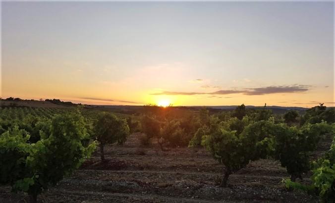 solnedgång vinfält